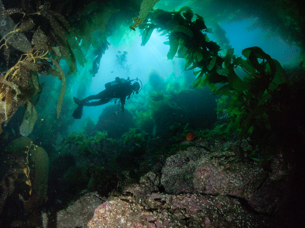 Diver in the kelp forest