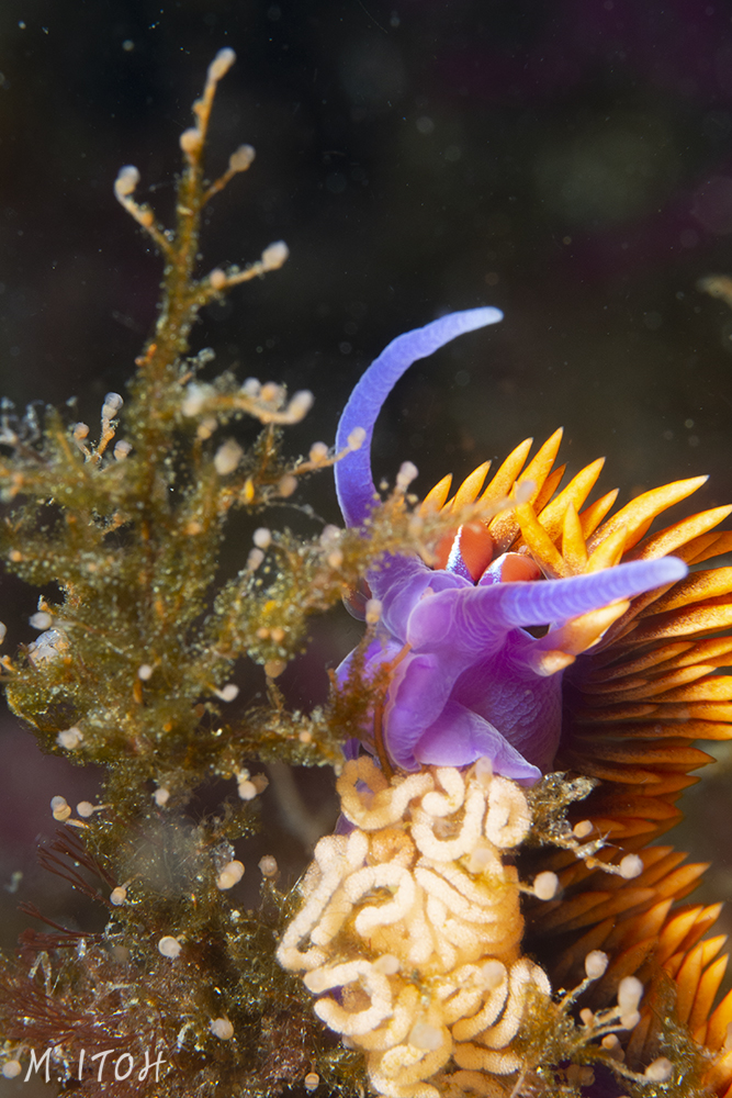 Too bad the Spanish shawl is cropped off, but it was swaying back and forth so much I was happy just to get a clear shot of the nudibranch and the eggs.