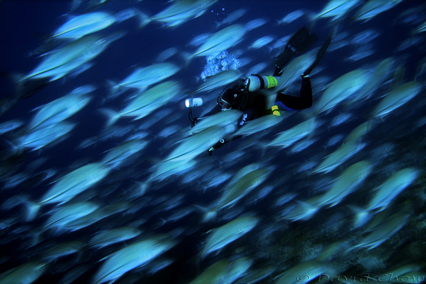 Diving amoung the Jack fish, Tubbataha Reef_Phillippines