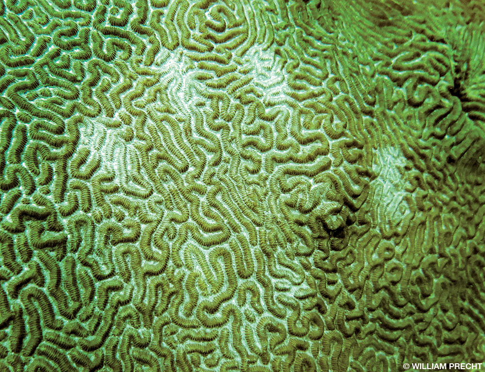 This isn't my picture. But notice the handprint of bleached coral? This diver likely had applied sunblock with oxybenzone with his hands and touched the coral. Rule #1, use coral safe sunscreen. Rule #2, please don't touch the coral even if you didn't apply sunscreen.