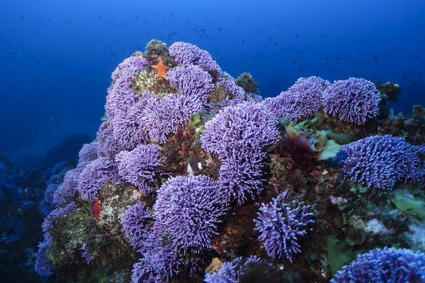 Purple hydrocoral (Stylaster californicus) thrive on the lush reefs at Farnsworth Bank, a secluded dive site on the back side of Catalina Island, entrancing divers with their brilliant color.