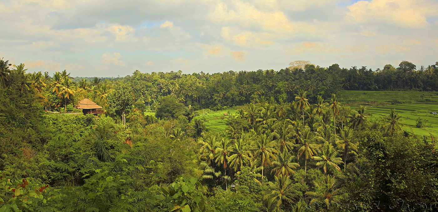 Coconut trees and Padi fields in Ubud, Bali