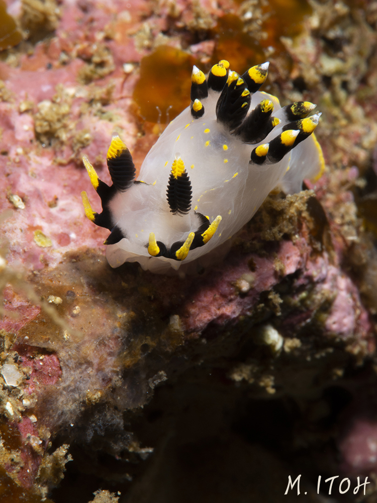 Polycera tricolor - such a funny looking little nudibranch
