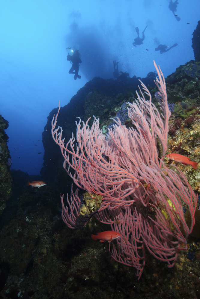 Young California sheepshead (Semicossyphus pulcher) dance through the reaching arms of vibrant Red Gorgonian (Leptogorgia chilensis) at Farnsworth Bank. Stunning visibility reveals a flock of descending divers one-hundred feet above the reefs below.