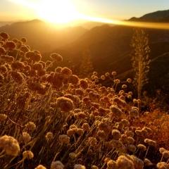 Hike 7/22/18 Golden Hour Plant Tasting @ Mt. Lowe