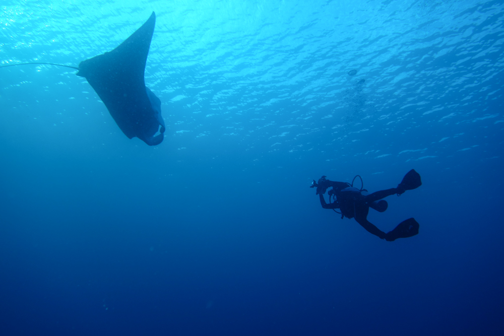 <font size=2 font color=black>One of the most majestic creatures that divers can encounter in the shallow waters of Palau is the manta ray (Manta birostris). These calm creatures don't mind being approached and photographed by divers.</font>